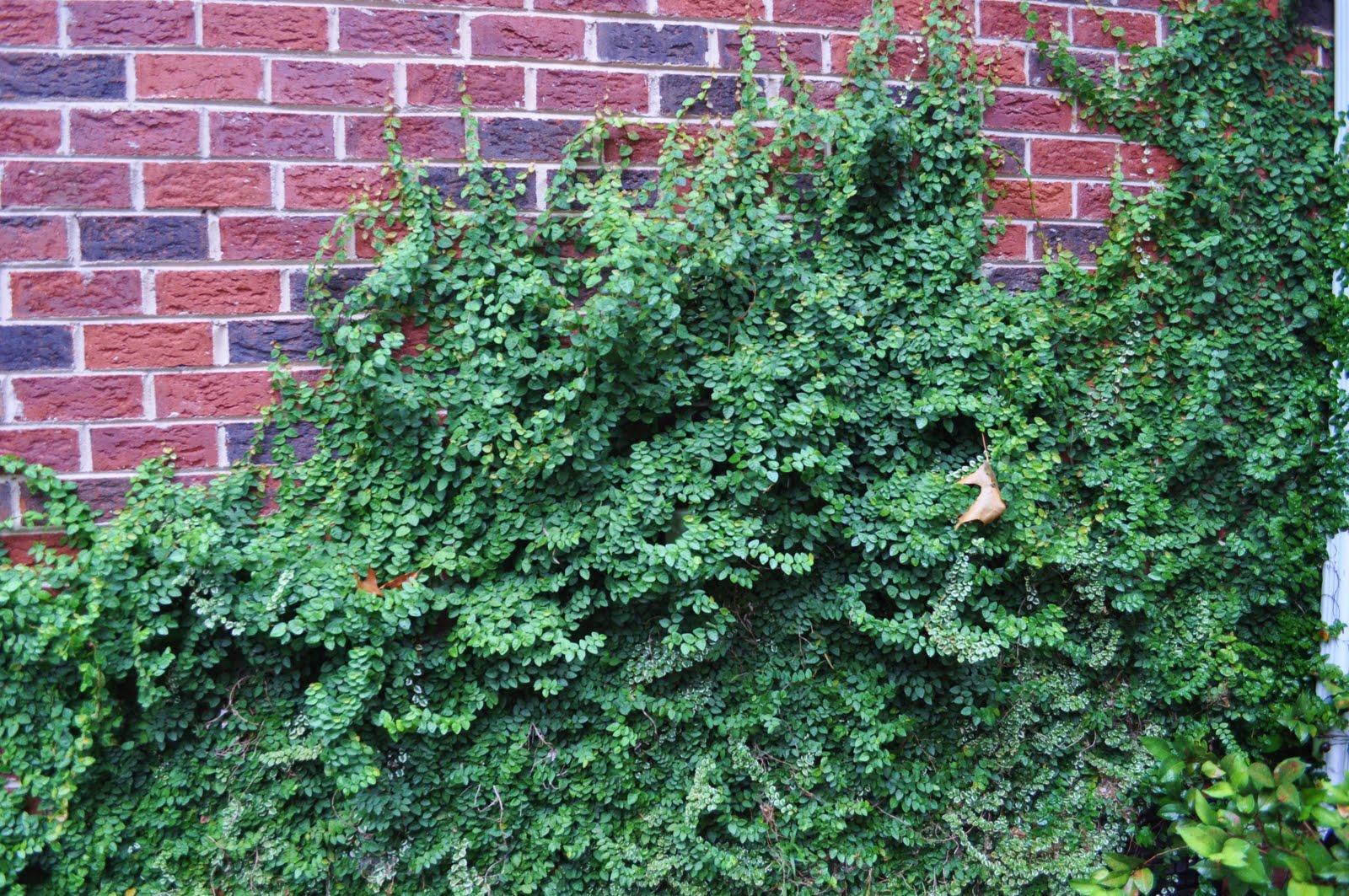 Creeping fig vine margo 39 s corner for The evergreen