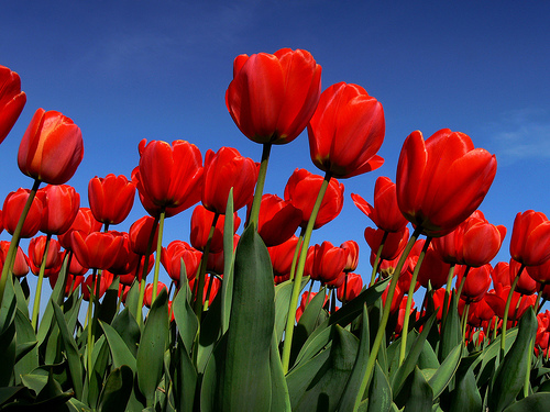 Red-Tulips-5